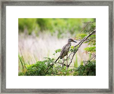 Juvenile Yellow Crowned Night Heron Framed Print by Zoe Ferrie