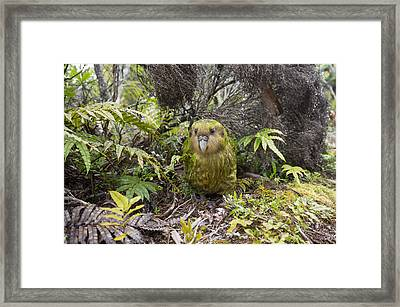 Kakapo Male In Forest Codfish Island Framed Print by Tui De Roy