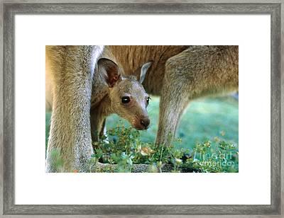 Kangaroo Joey Framed Print by Mark Newman