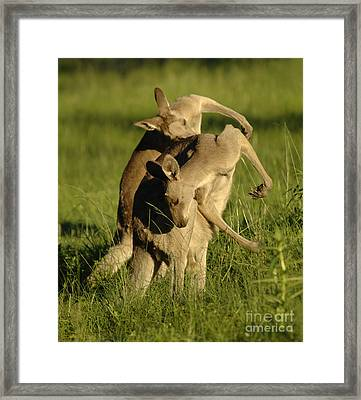 Kangaroos Taking A Bow Framed Print by Bob Christopher