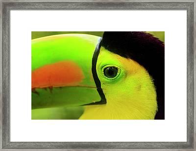 Keel-billed Toucan (ramphastos Framed Print by Stuart Westmorland