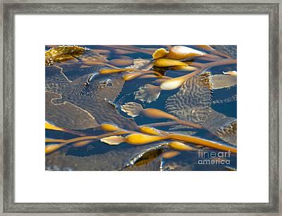 Kelp Haida Gwaii British Columbia Framed Print by Michael DeFreitas