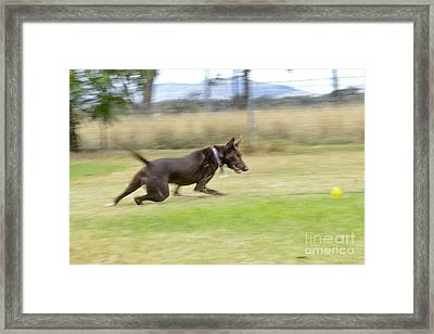 Kelpie Chasing A Ball Framed Print by Christopher Edmunds