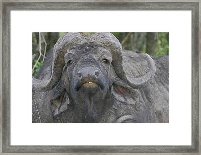 Kenya Frontal View Of Cape Buffalo Framed Print by Jaynes Gallery