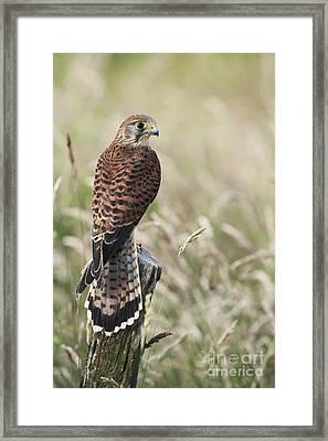 Kestrel Framed Print by Tim Gainey
