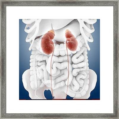 Kidneys And Ureters, Artwork Framed Print by Science Photo Library