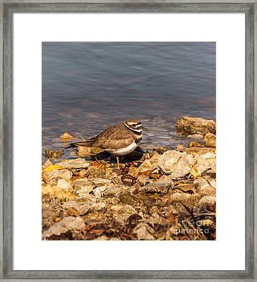 Kildeer On The Rocks Framed Print by Robert Frederick