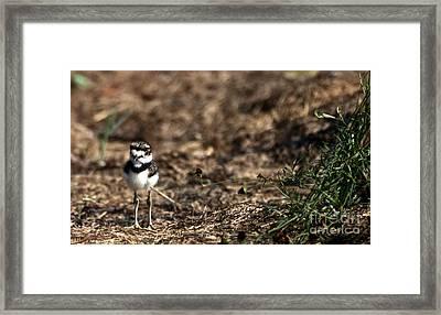 Killdeer Chick Framed Print by Skip Willits