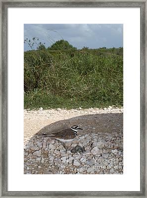 Killdeer Defending Nest Framed Print by Gregory G. Dimijian