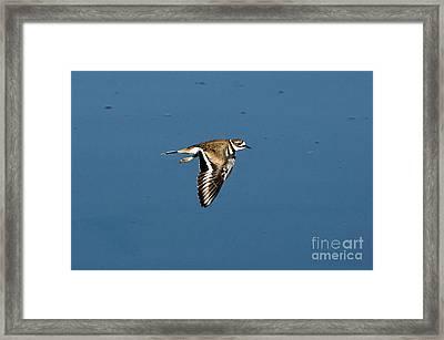 Killdeer In Flight Framed Print by Anthony Mercieca