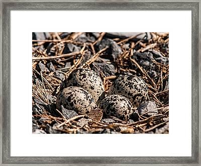 Killdeer Nest Framed Print by Lara Ellis