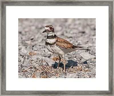 Killdeer Nesting Framed Print by Lara Ellis