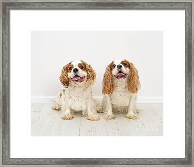 King Charles Spaniel Dogs Framed Print by Amanda And Christopher Elwell