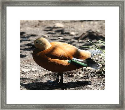 King Eider Duck Framed Print by John Telfer