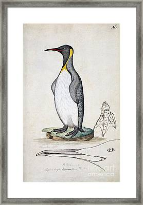 King Penguin, 18th Century Framed Print by Natural History Museum, London