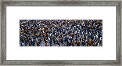 King Penguin Colony Salisbury Plain Framed Print by Panoramic Images