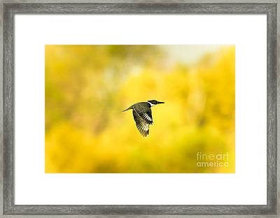 Kingfisher On Gold 2 Framed Print by Robert Frederick