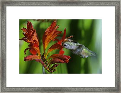 Kiss Of A Humming Bird Framed Print by Jeff Swan