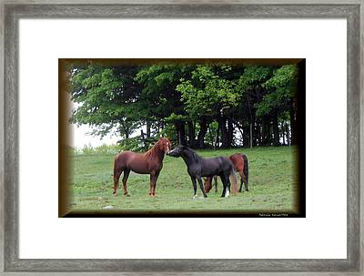 Kissing Cousins- The Paso Fino Stallions Framed Print by Patricia Keller