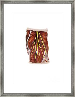 Knee Nerve Plexus, Artwork Framed Print by D & L Graphics