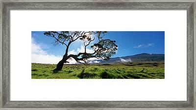 Koa Tree On A Landscape, Mauna Kea, Big Framed Print by Panoramic Images