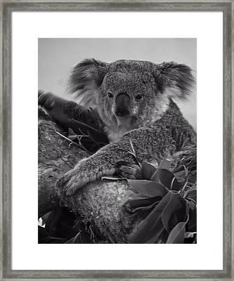 Koala Framed Print by Chris Flees