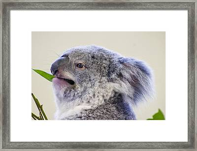 Koala Close Up Framed Print by Chris Flees
