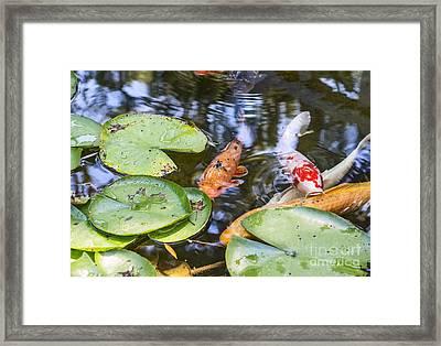 Koi And Lily Pad Framed Print by Jamie Pham
