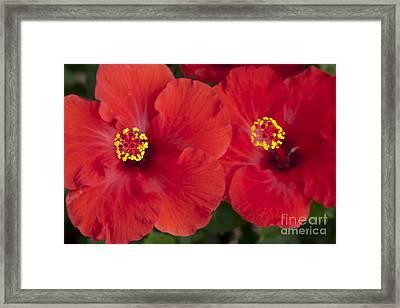 Kokio Ulaula - Tropical Red Hibiscus Framed Print by Sharon Mau