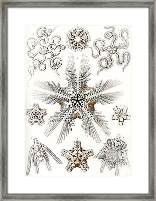 Kunstformen Der Natur Framed Print by Ernst Haeckel