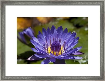 La Fleur De Lotus - Star Of Zanzibar Tropical Water Lily Framed Print by Sharon Mau