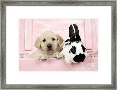 Lab Puppy And Bunny Framed Print by John Daniels