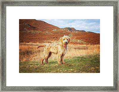 Labradoodle Puppy Framed Print by Mike Taylor