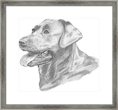 Labrador Dog Drawing Framed Print by Catherine Roberts