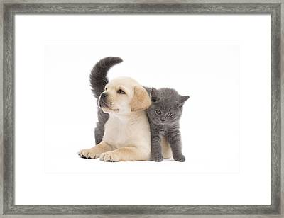 Labrador Puppy And Chartreux Kitten Framed Print by Jean-Michel Labat