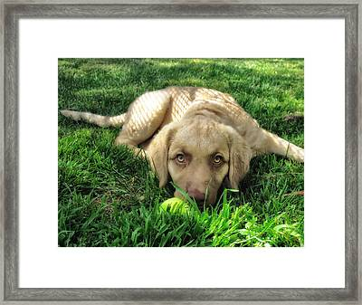 Labrador Puppy Framed Print by Larry Marshall