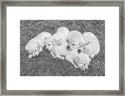 Labrador Retriever Puppies Nap Time Black And White Framed Print by Jennie Marie Schell