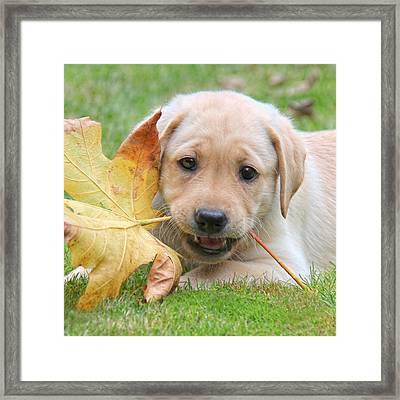 Labrador Retriever Puppy With Autumn Leaf Framed Print by Jennie Marie Schell