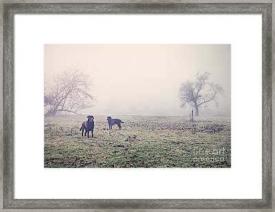 Labradors In Misty Field Framed Print by Justin Paget