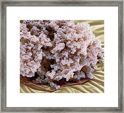 Lactococcus Lactis Bacteria Framed Print by Steve Gschmeissner