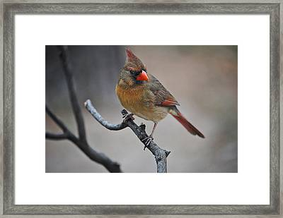 Lady Cardinal Framed Print by Skip Willits