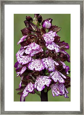 Lady Orchid (orchis Purpurea) Flowers Framed Print by Bob Gibbons