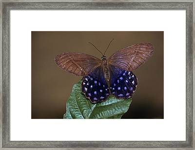 Lady Slipper Butterfly, Also Known Framed Print by Thomas Wiewandt