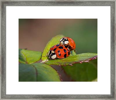 Ladybird Coupling Framed Print by Rona Black