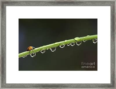 Ladybird On Grass Stem Framed Print by Tim Gainey