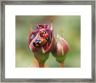 Ladybug Foursome Framed Print by Rona Black