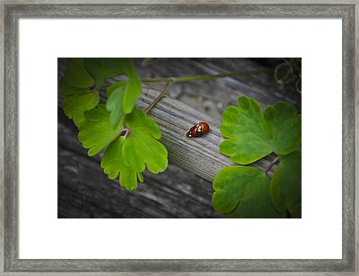 Ladybugs Mating Framed Print by Aged Pixel
