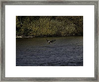 Landing Eagle Framed Print by Thomas Young
