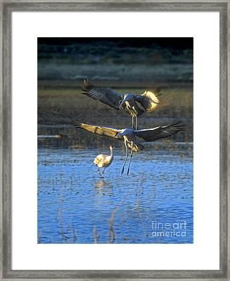 Landing Sandhill Cranes Framed Print by Steven Ralser