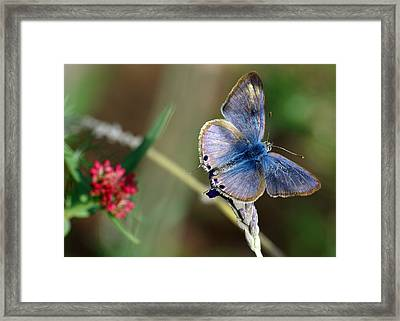 Lang's Short-tailed Blue Framed Print by Meir Ezrachi
